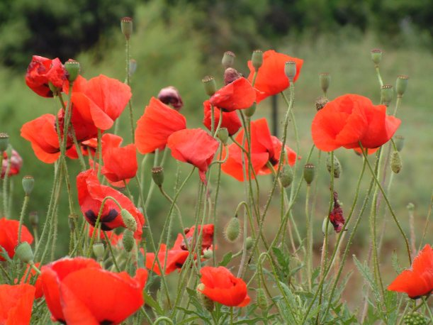 Poppies at Suvla